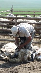 Shearing Cashmere Goats in Mongolia