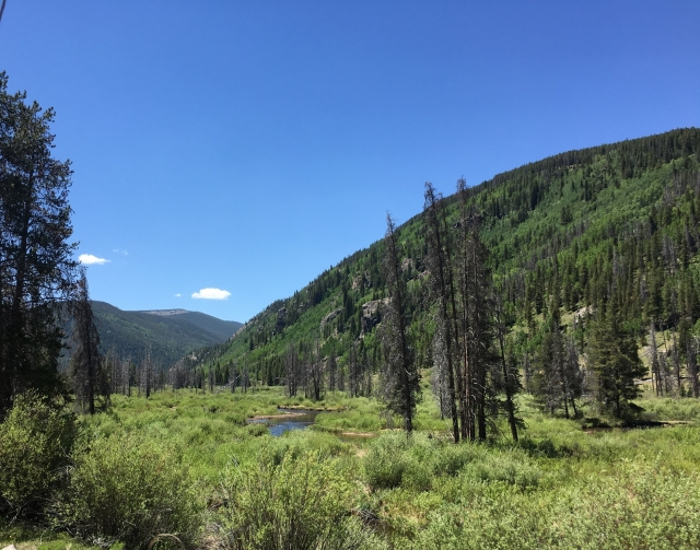 Dead Trees in Colorado Forest due to the Pine Beetle